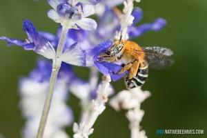 nbh bluebandedbee 110317