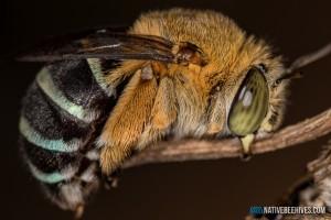 nbh bluebandedbeesroost1