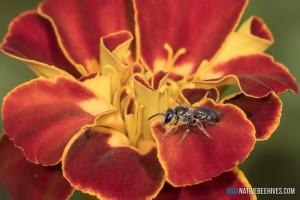 nbh homalictus marigold