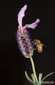 nbh honeybee 041016 2sml
