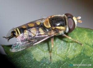 nbh hoverfly