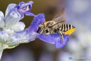 nbh megachile solitarybee