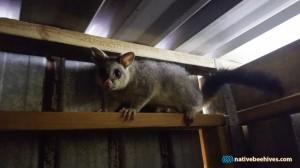 nbh possum